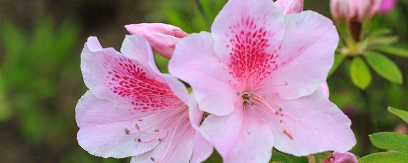 杜鹃花的花蔫了怎么办