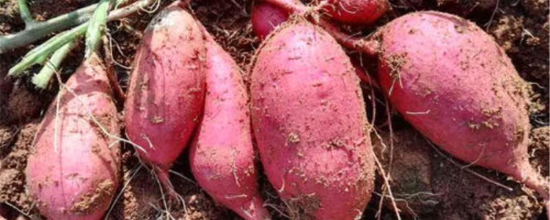 阳台怎么栽紫薯