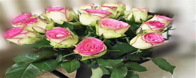 玫瑰花刚发芽就枯萎的原因