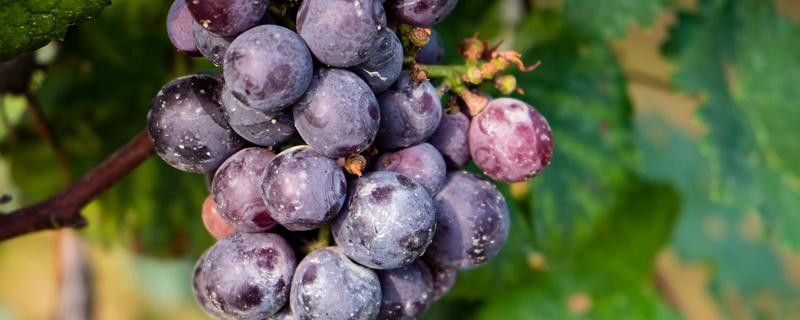 盆栽葡萄用多大的盆