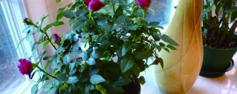 盆栽小玫瑰花怎么养殖