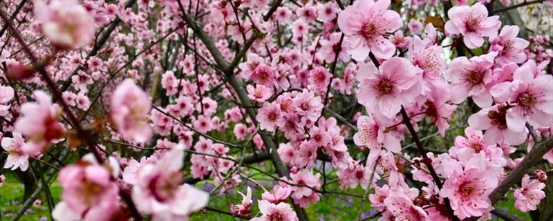 梅花的繁殖植方法
