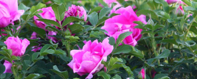 玫瑰老根种植方法