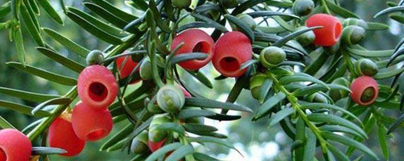 红豆杉变黄叶怎么处理