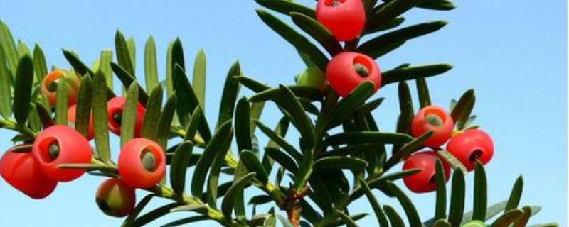 红豆杉盆景修剪方法