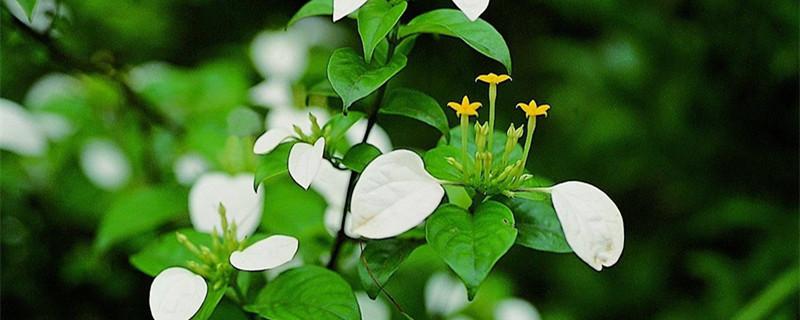 玉叶金花的养殖方法