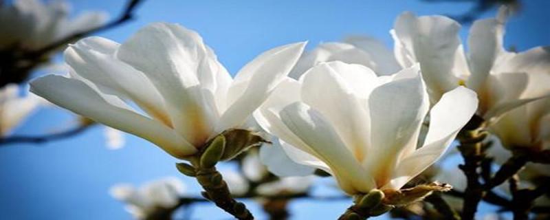白玉兰种子种植方法