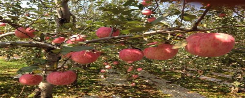 苹果树叶黄斑什么原因