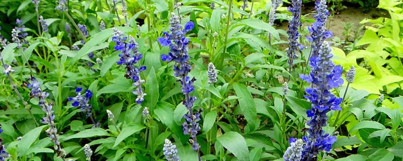 蓝花鼠尾草的养殖方法和注意事项