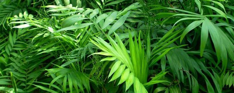 袖珍椰子浇多少水