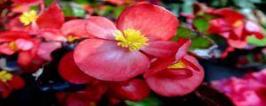四季秋海棠叶子没多少怎么办