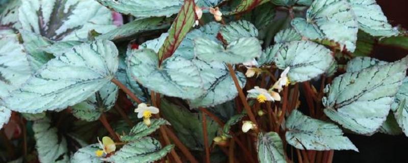 蟆叶秋海棠的养殖方法和注意事项