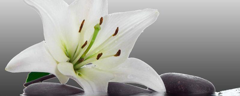 百合花叶子病害防治