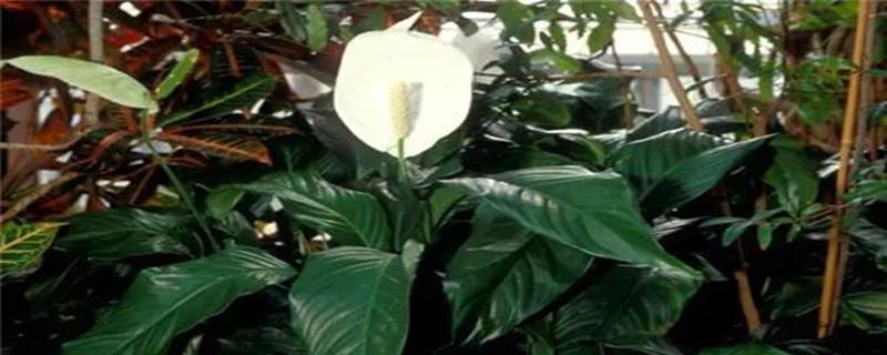 白掌叶子长势茂盛就是不开花的原因