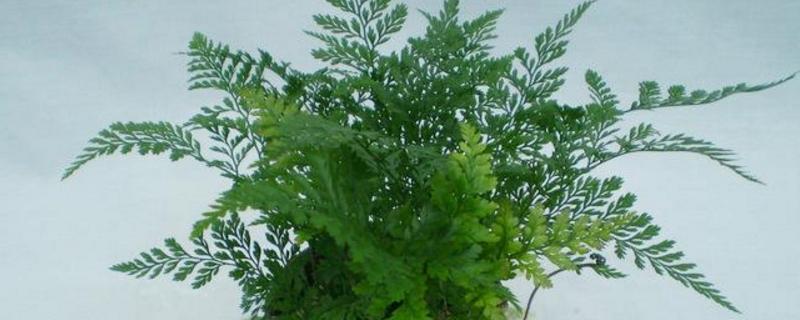 蕨类小盆栽的养殖方法和注意事项