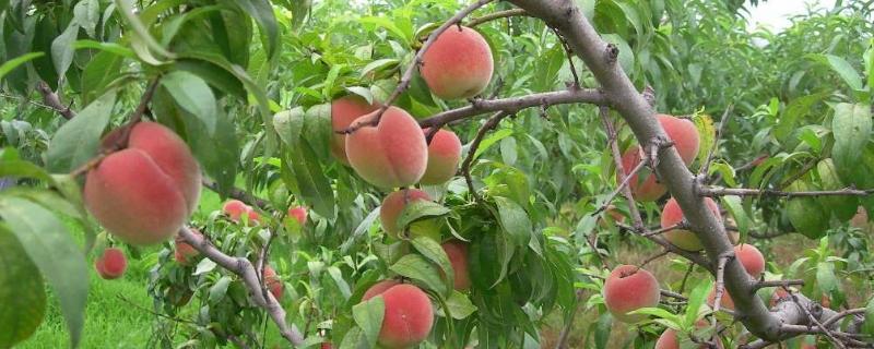 水蜜桃的养殖方法和注意事项