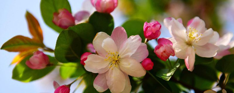 海棠花叶子发黄脱落的原因