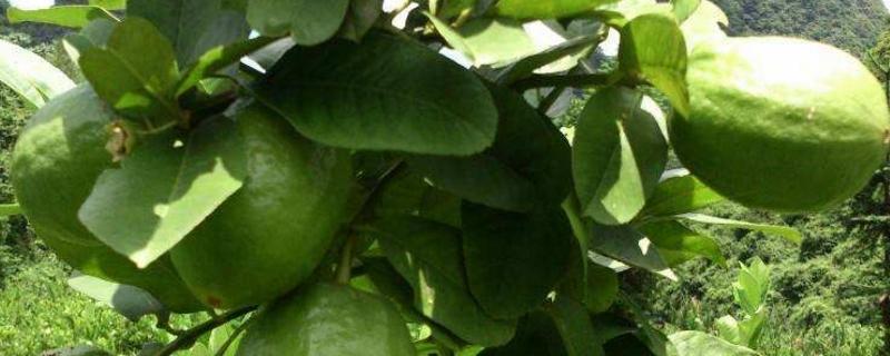 香水柠檬的养殖方法和注意事项