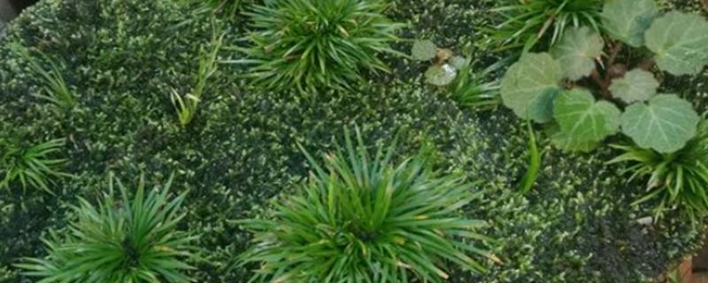 昌蒲草盆景怎么培养