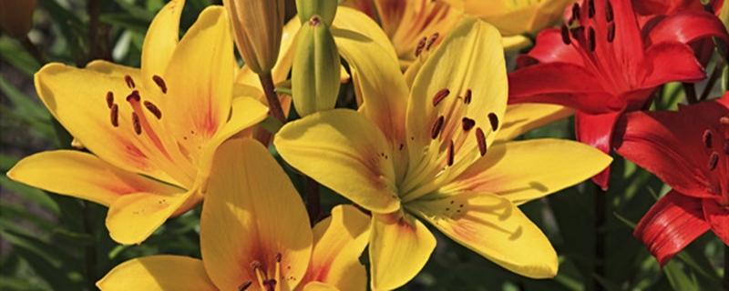 百合花怎么种植与管理