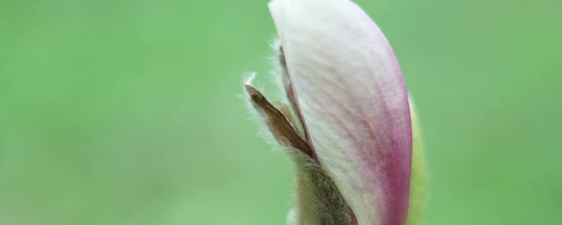 阳台如何养木兰花,需要注意什么