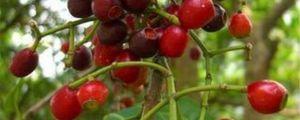 水翁果的养殖方法和注意事项