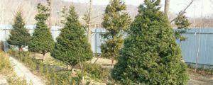 紫杉的养殖方法和注意事项
