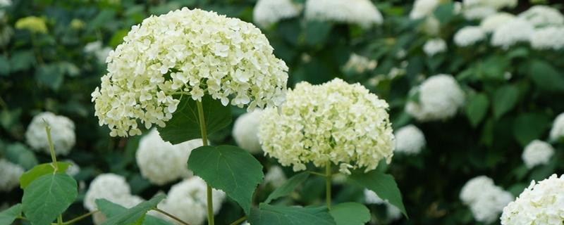 绣球花和风信子的区别