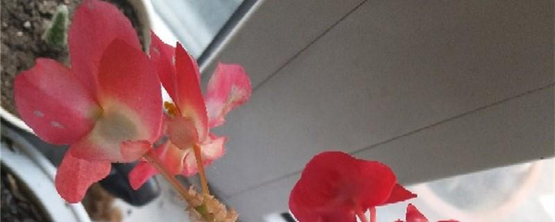 海棠黄叶的原因和处理办法