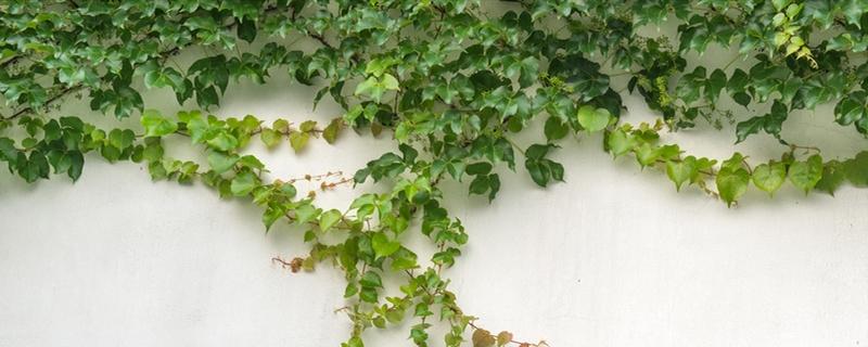 爬墙虎和常春藤的区别