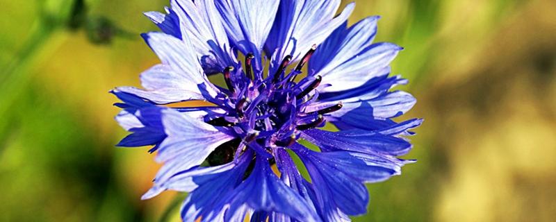 矢车菊和雏菊的区别