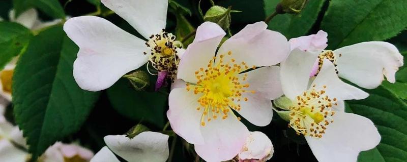 凌霄花与蔷薇花的区别