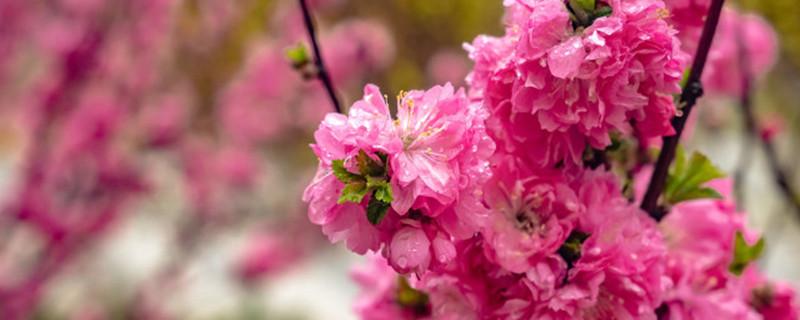 毛樱桃和榆叶梅的区别