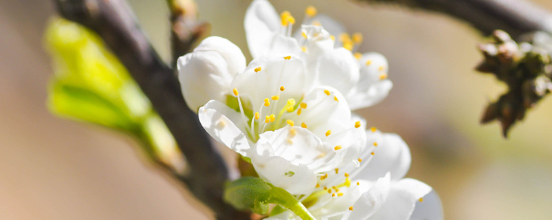 梅花和榆叶梅的区别