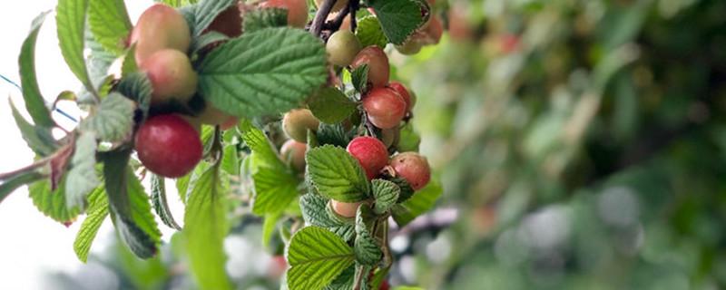 山樱桃和榆叶梅的区别
