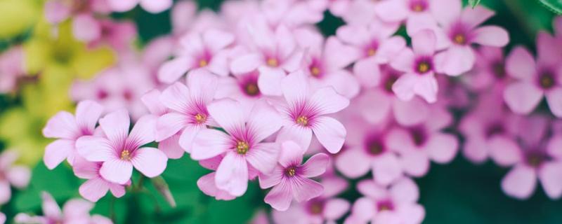 长春花和长寿花的区别