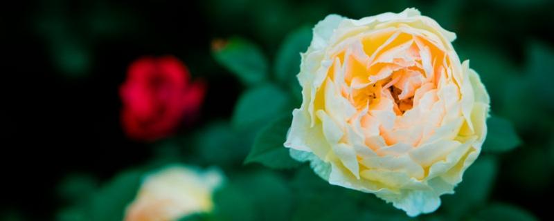 月季花和蔷薇花的区别
