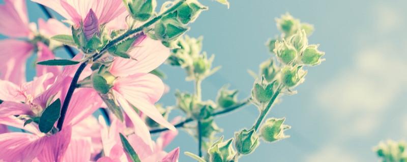 蜀葵和木槿的区别