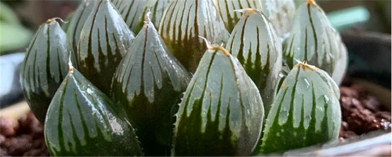 玉露黄叶的原因和处理办法