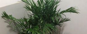 夏威夷椰子与富贵椰子的区别
