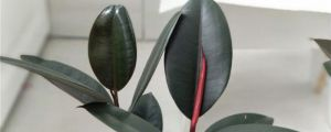 橡皮树黄叶的原因和处理办法
