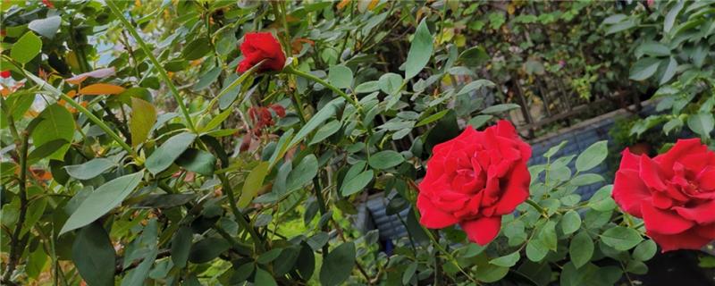 玫瑰花怎么种,玫瑰花什么时候种