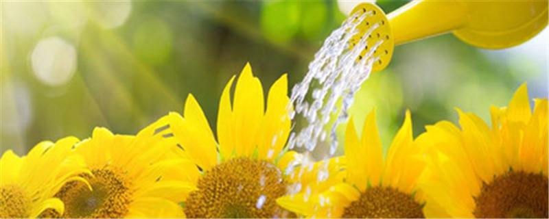 向日葵种子怎么种,向日葵种子图片