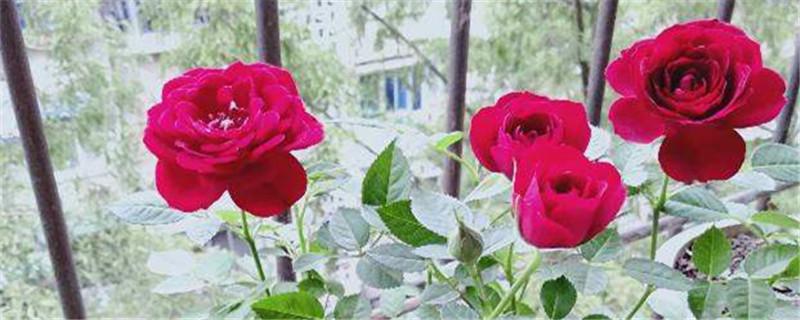 玫瑰花怎么种,玫瑰花图片