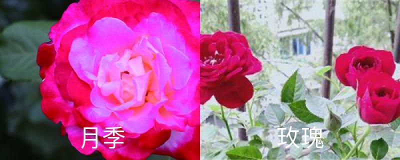 月季与玫瑰的区别,玫瑰花的图片