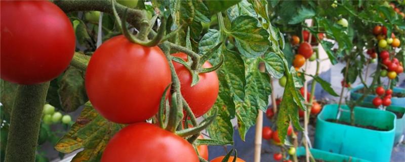 番茄种植方法,番茄图片