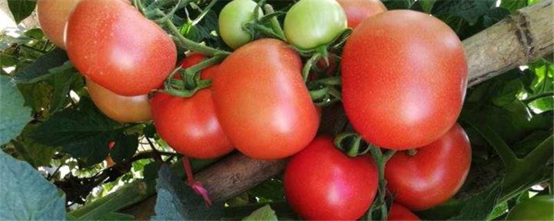 番茄枯萎病怎么治疗