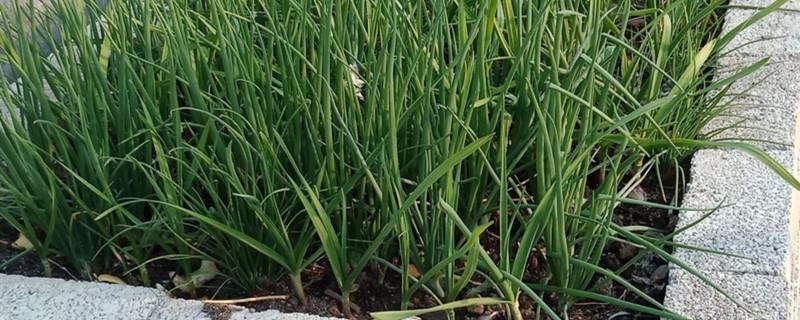 发芽的大蒜能吃吗,大蒜怎么保存不发芽