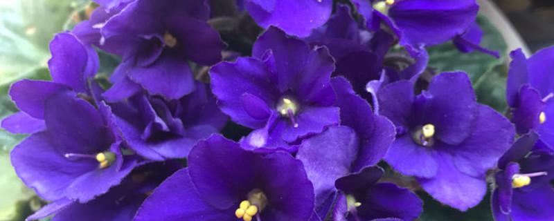 紫罗兰花语,紫罗兰图片