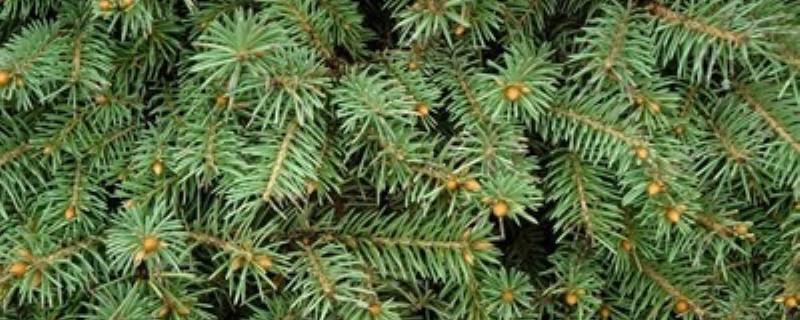 红豆杉树苗价格,红豆杉幼苗多少钱